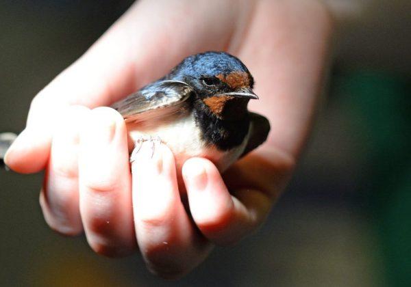 Wat te doen als je een noodlijdende vogel of een ander in het wild levend dier vindt?